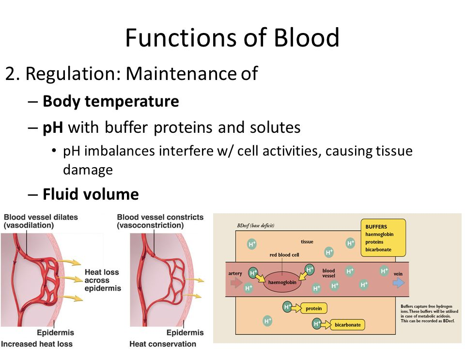 Functions of Blood 2. Regulation: Maintenance of Body temperature