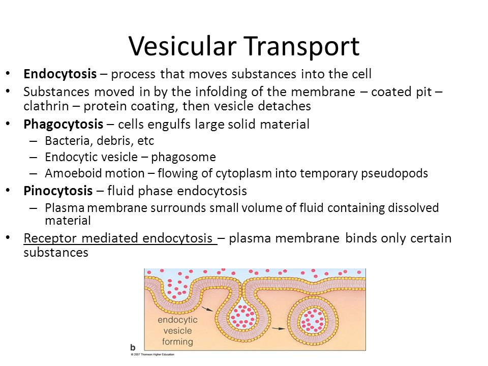 Vesicular Transport Endocytosis – process that moves substances into the cell.