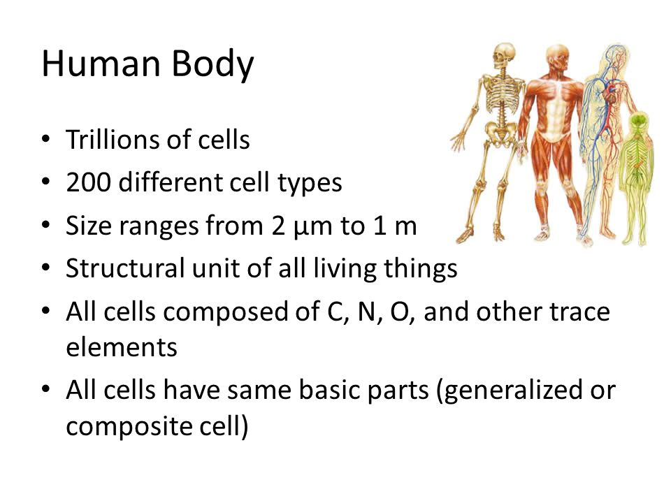 Human Body Trillions of cells 200 different cell types