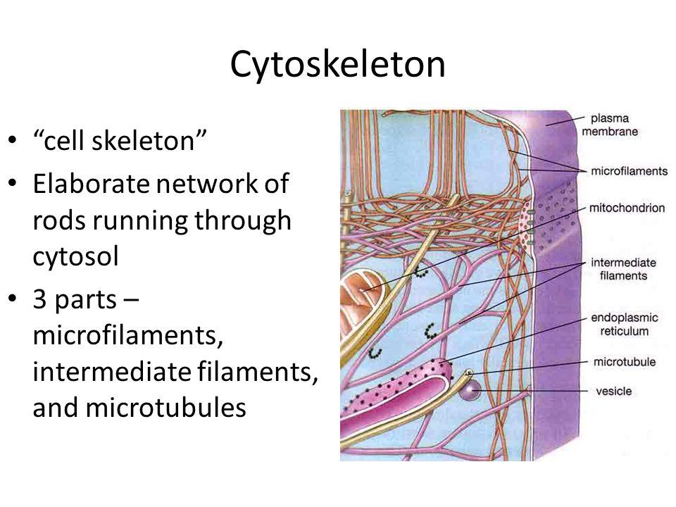 Cytoskeleton cell skeleton