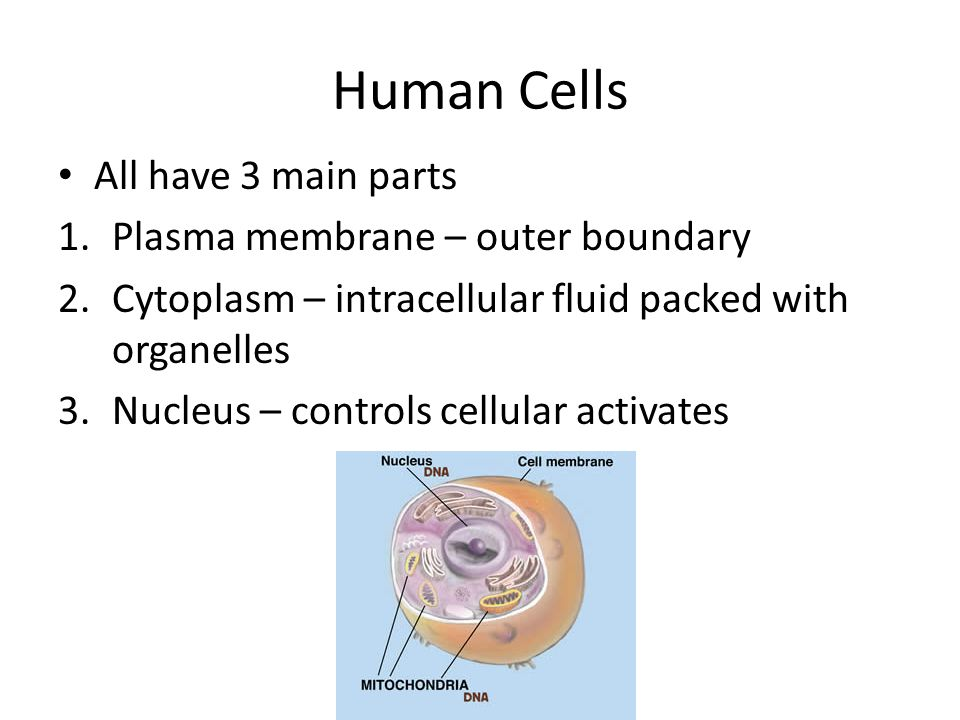Human Cells All have 3 main parts Plasma membrane – outer boundary