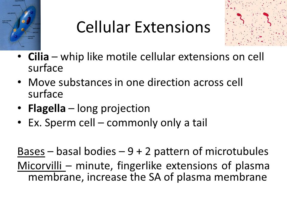Cellular Extensions Cilia – whip like motile cellular extensions on cell surface. Move substances in one direction across cell surface.