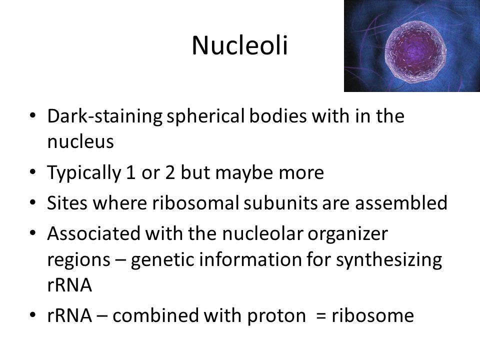 Nucleoli Dark-staining spherical bodies with in the nucleus
