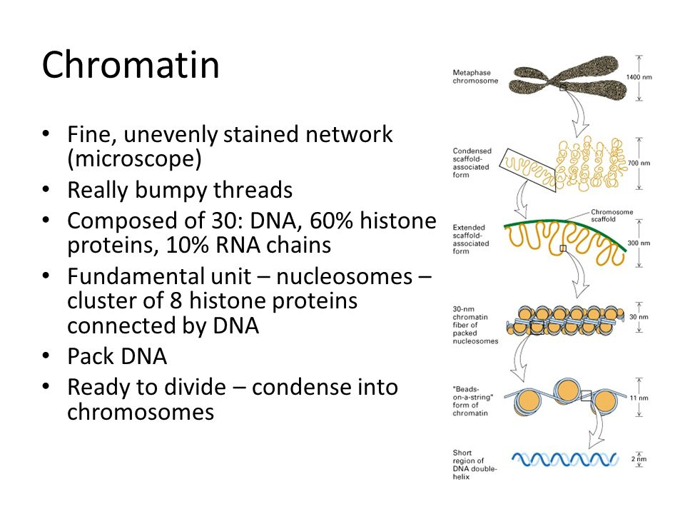 Chromatin Fine, unevenly stained network (microscope)