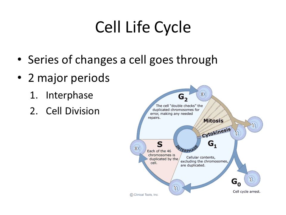 Cell Life Cycle Series of changes a cell goes through 2 major periods
