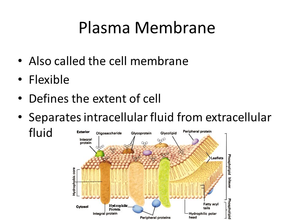 Plasma Membrane Also called the cell membrane Flexible
