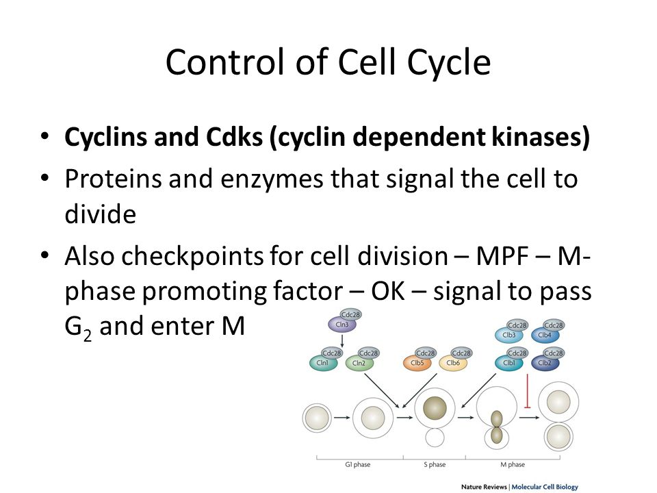 Control of Cell Cycle Cyclins and Cdks (cyclin dependent kinases)