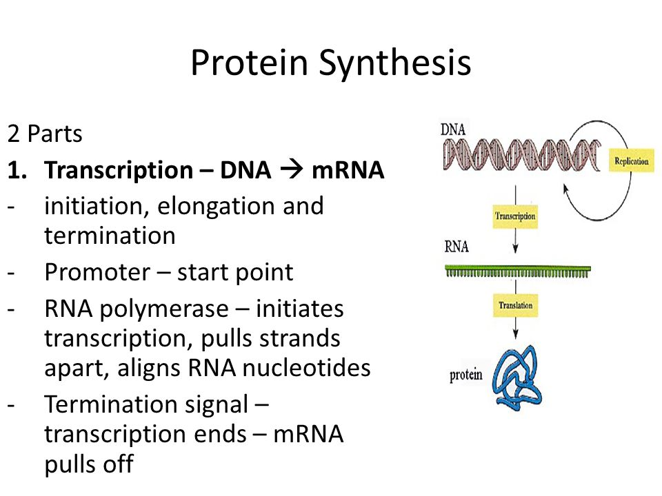 Protein Synthesis 2 Parts Transcription – DNA  mRNA