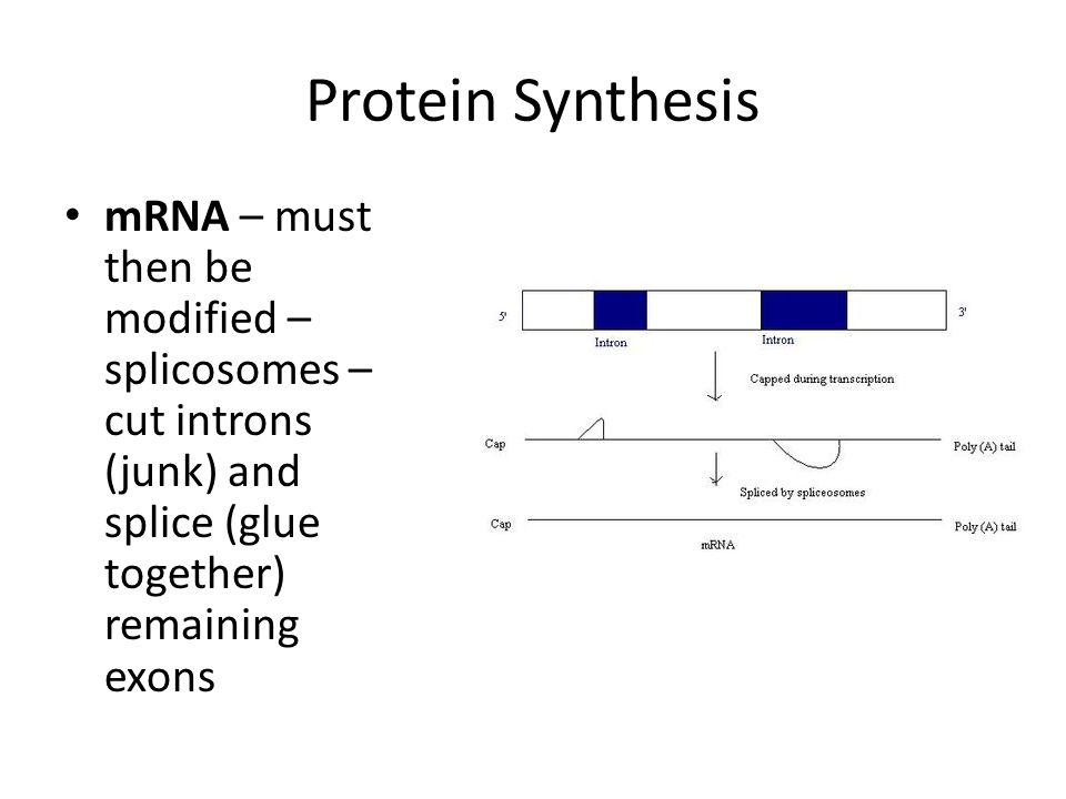 Protein Synthesis mRNA – must then be modified – splicosomes – cut introns (junk) and splice (glue together) remaining exons.