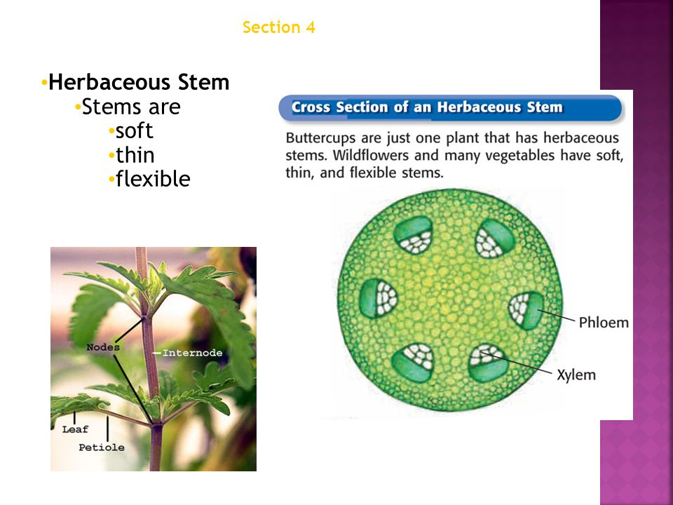 Chapter 12 Herbaceous Stem Stems are soft thin flexible