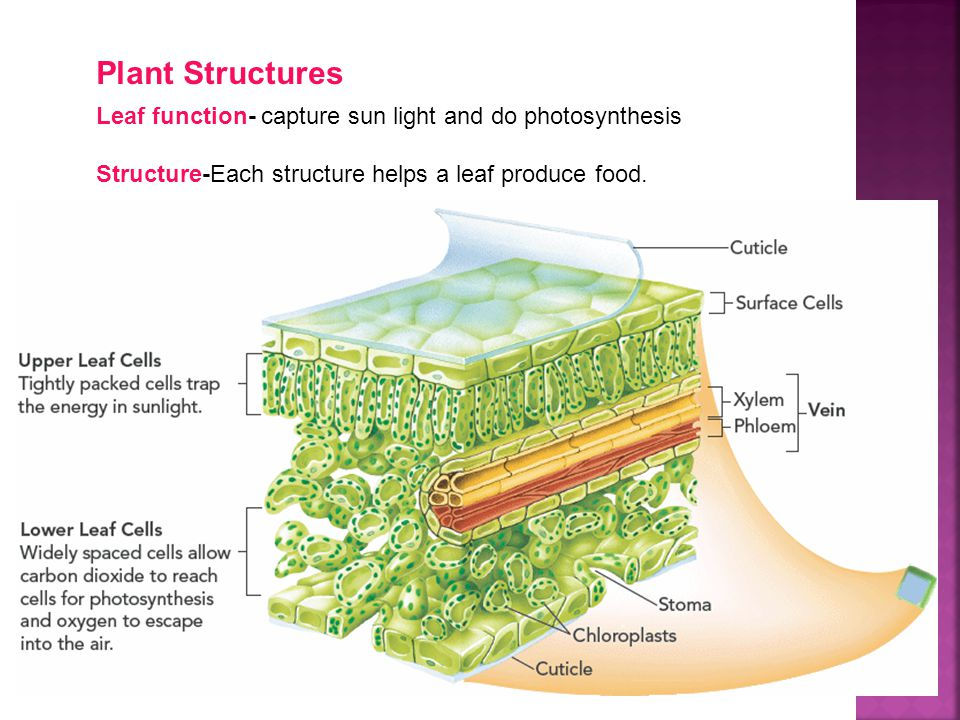 Plant Structures Leaf function- capture sun light and do photosynthesis.