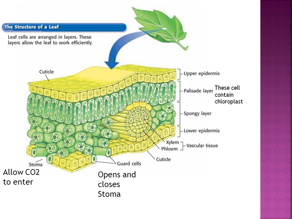 Chapter 12 Allow CO2 to enter Opens and closes Stoma