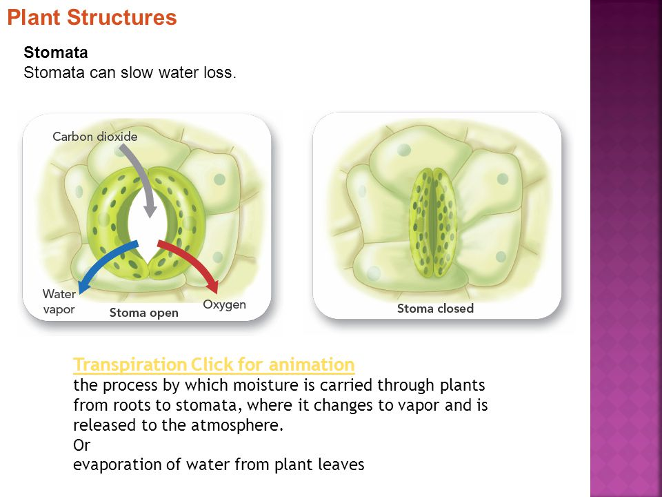 Plant Structures Transpiration Click for animation Stomata