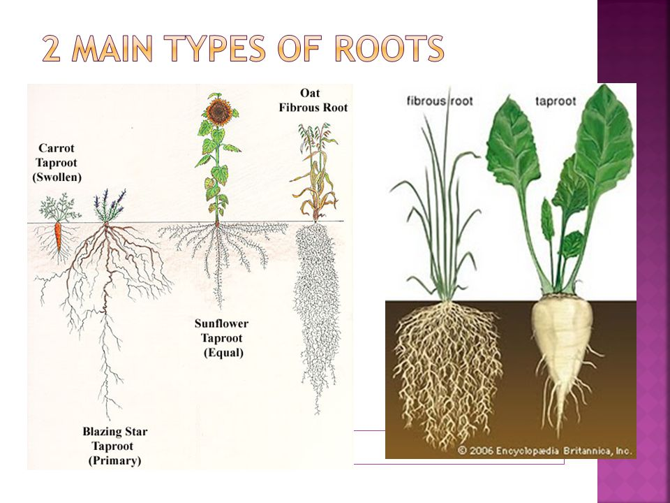 2 main types of roots