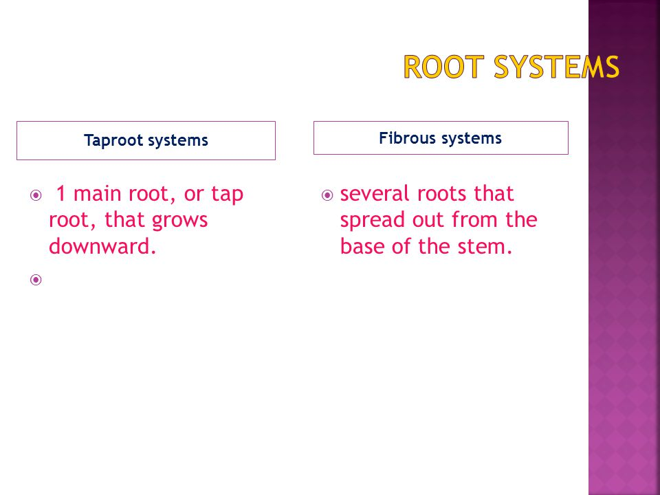 Root Systems 1 main root, or tap root, that grows downward.
