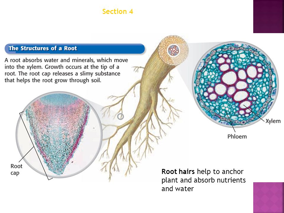 Chapter 12 Section 4 Structures of Seed Plants