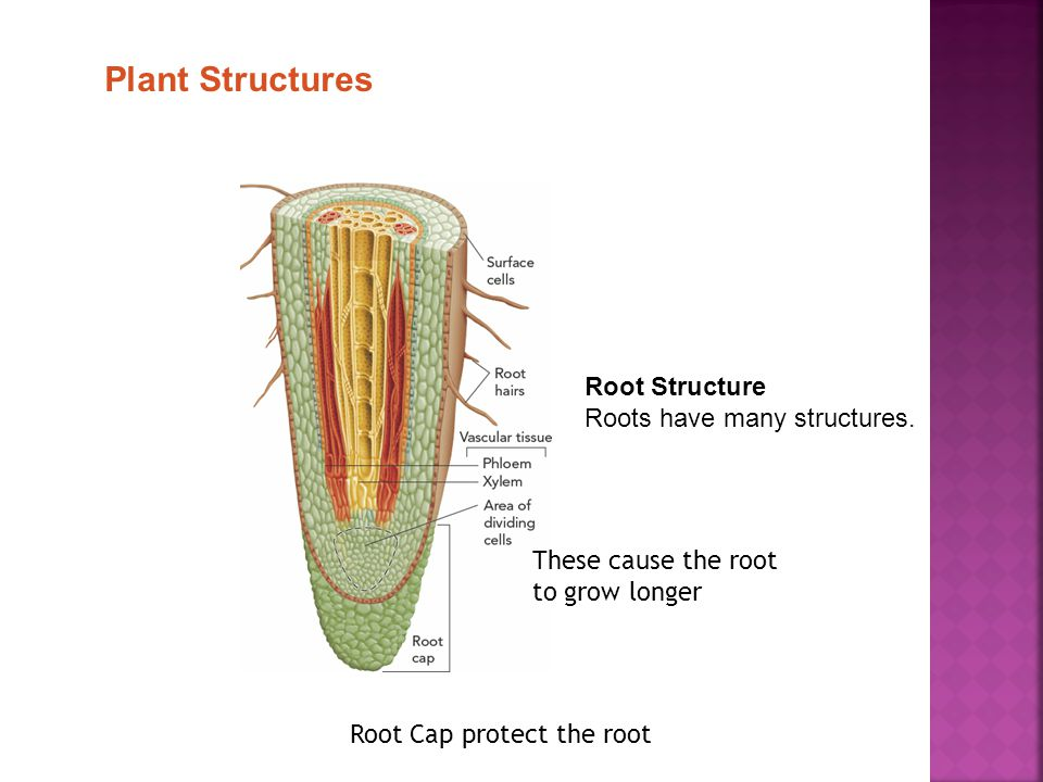 Plant Structures Root Structure Roots have many structures.
