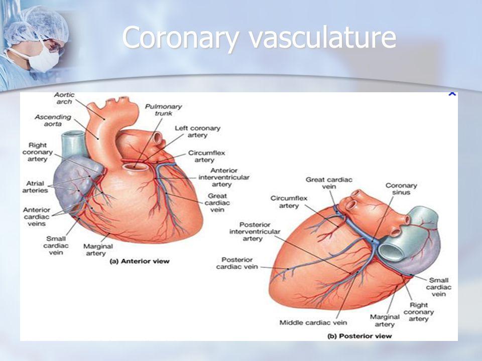 Coronary vasculature