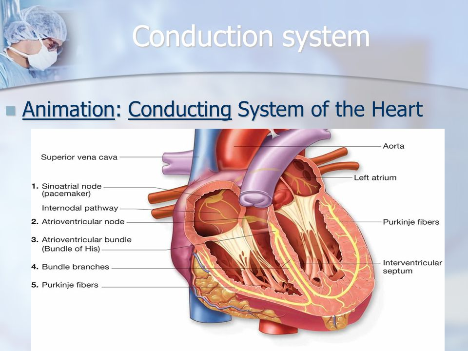 Conduction system Animation: Conducting System of the Heart