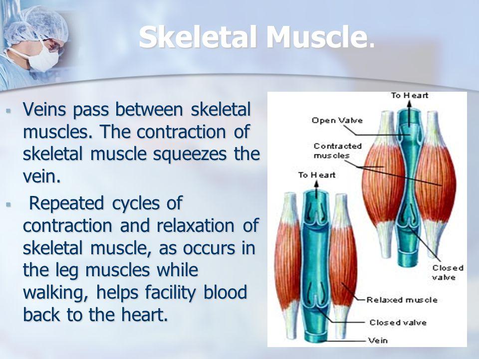 Skeletal Muscle. Veins pass between skeletal muscles. The contraction of skeletal muscle squeezes the vein.