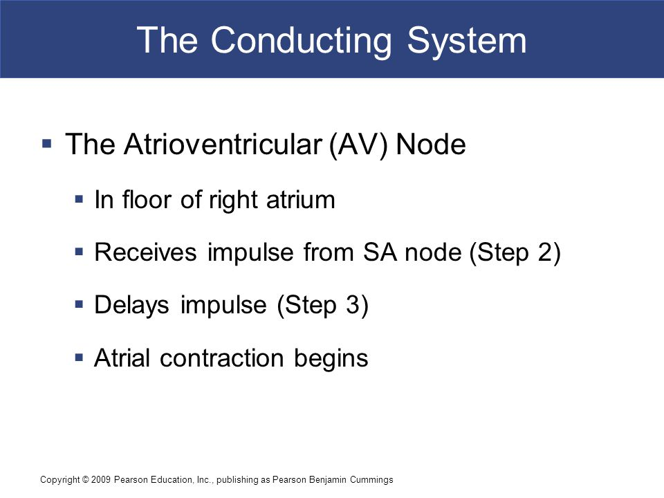 The Conducting System The Atrioventricular (AV) Node