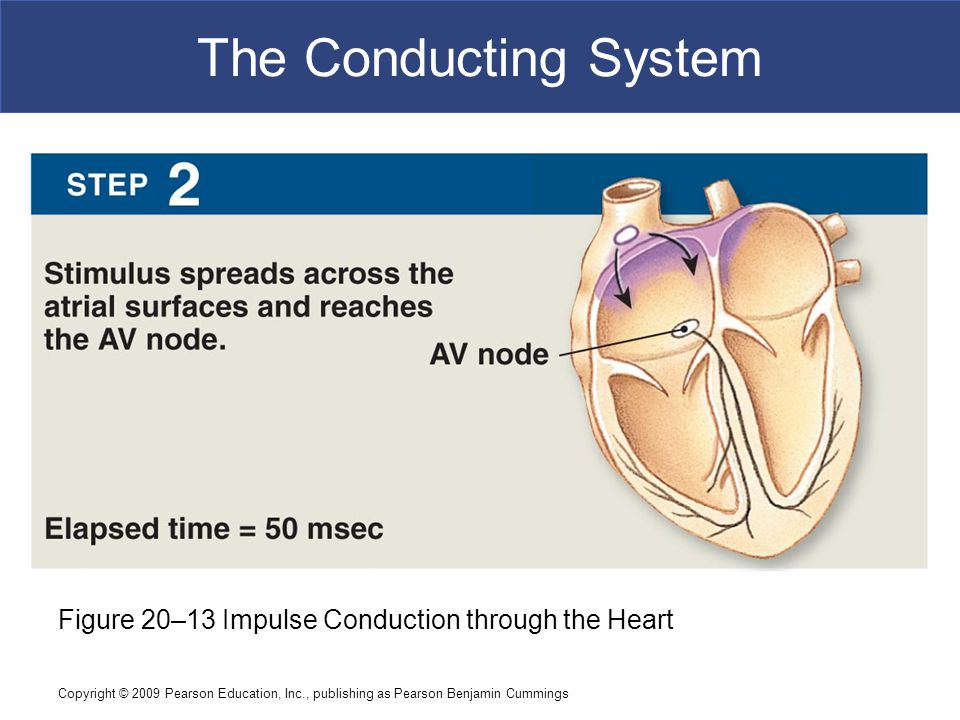 The Conducting System Figure 20–13 Impulse Conduction through the Heart.
