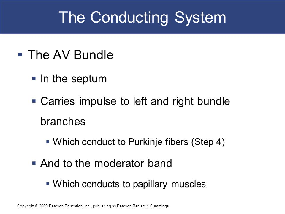 The Conducting System The AV Bundle In the septum