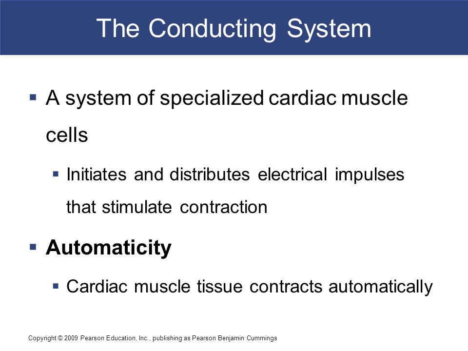 The Conducting System A system of specialized cardiac muscle cells