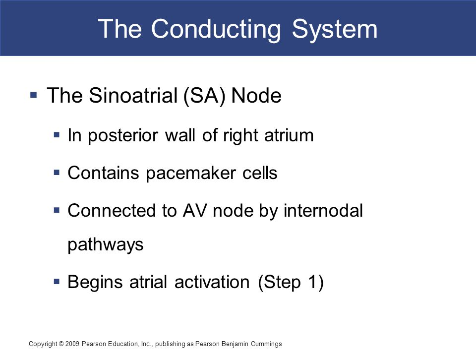 The Conducting System The Sinoatrial (SA) Node
