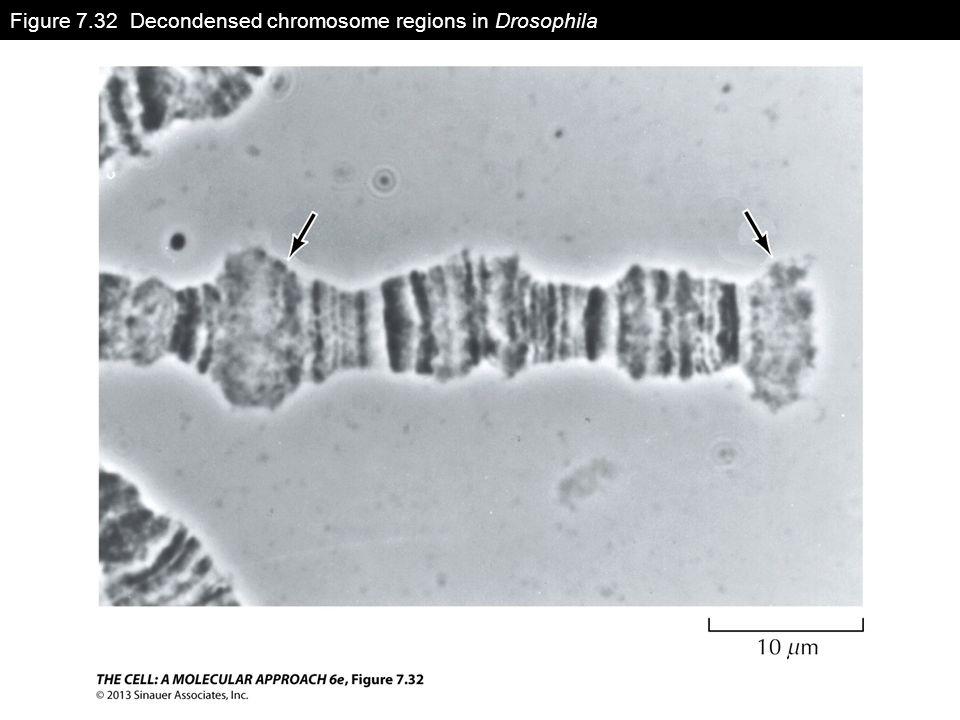 Figure 7.32 Decondensed chromosome regions in Drosophila