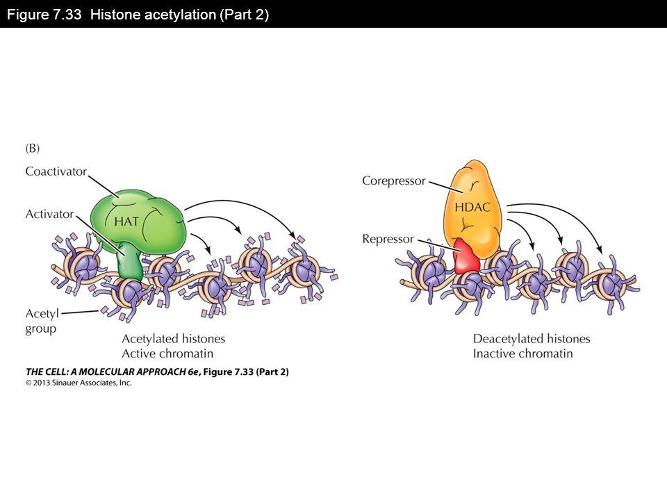 Figure 7.33 Histone acetylation (Part 2)