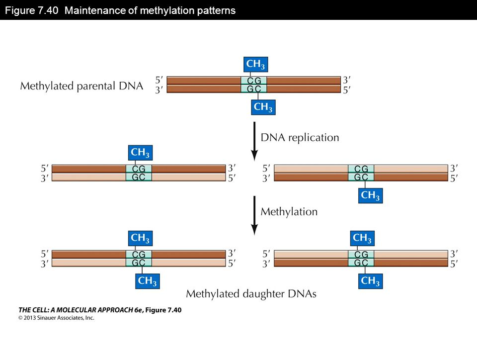 Figure 7.40 Maintenance of methylation patterns
