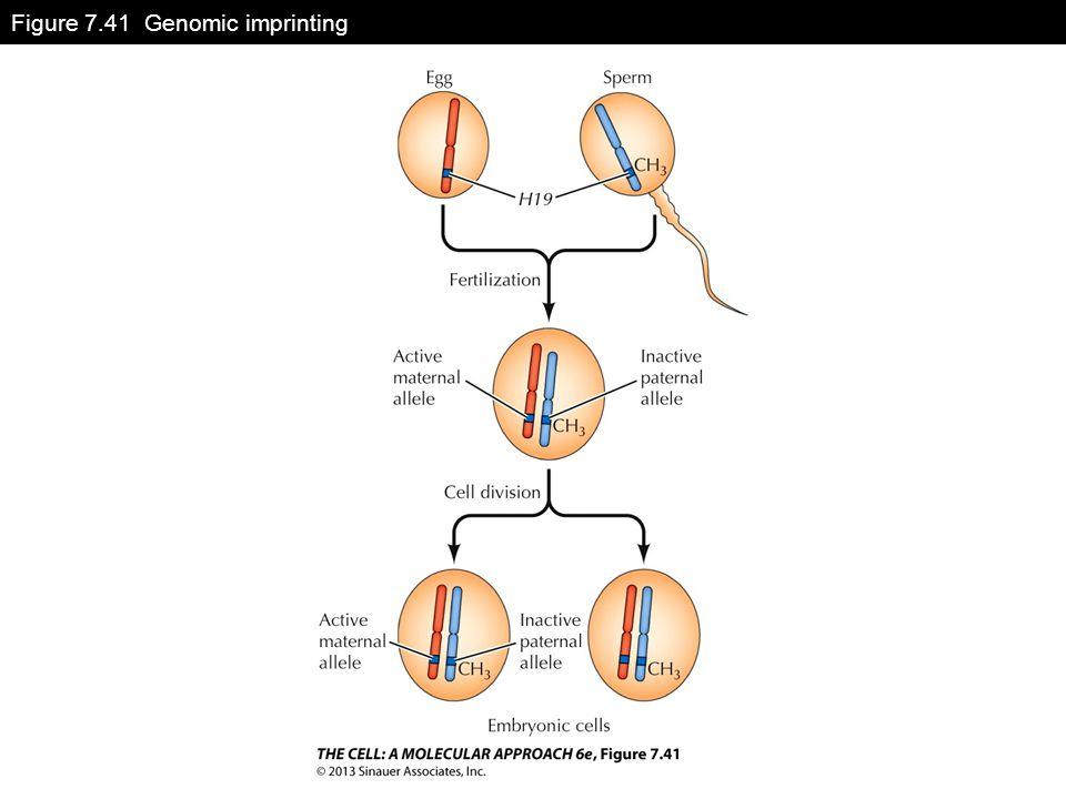Figure 7.41 Genomic imprinting