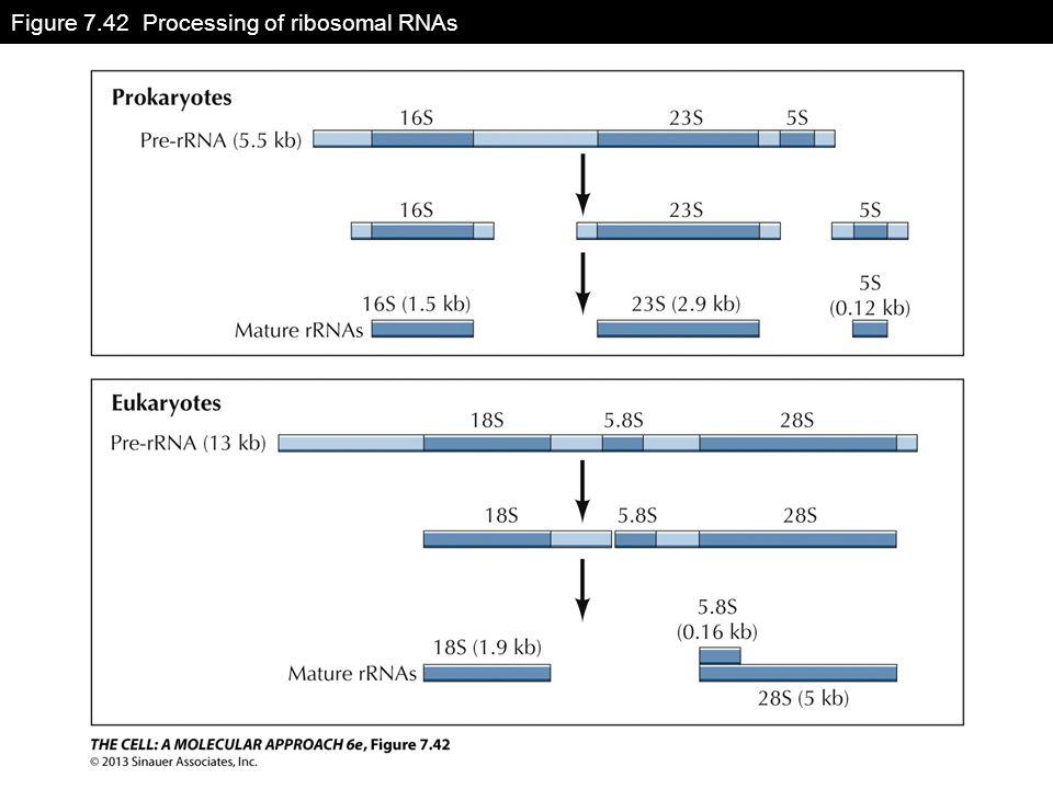 Figure 7.42 Processing of ribosomal RNAs