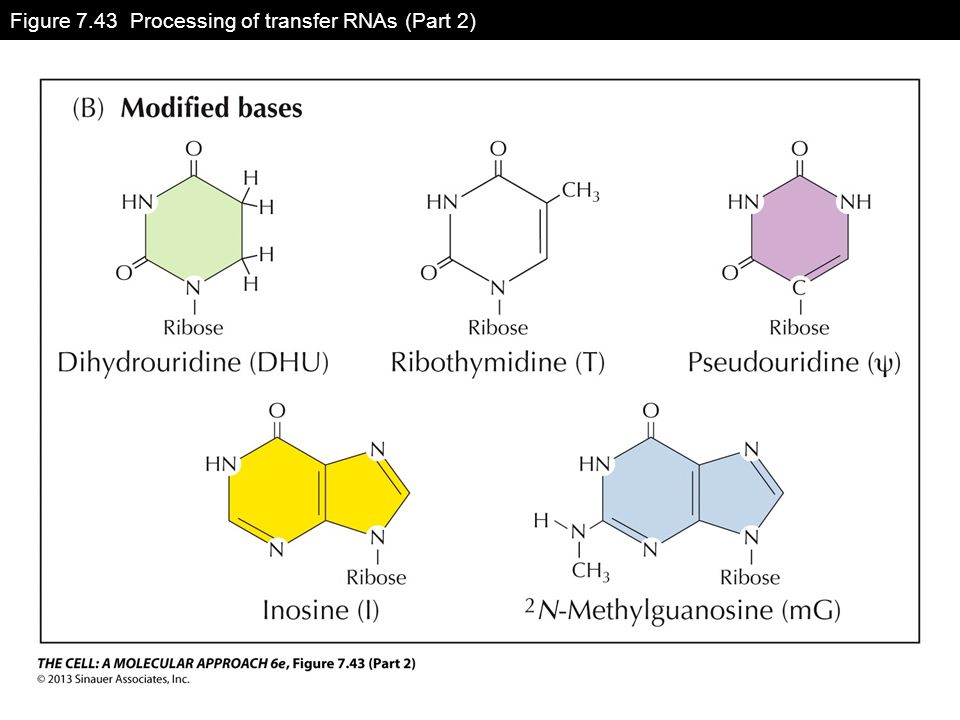 Figure 7.43 Processing of transfer RNAs (Part 2)