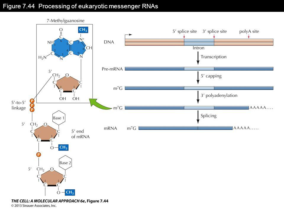 Figure 7.44 Processing of eukaryotic messenger RNAs