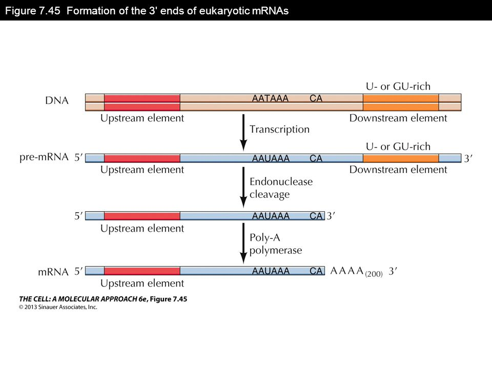 Figure 7.45 Formation of the 3 ends of eukaryotic mRNAs