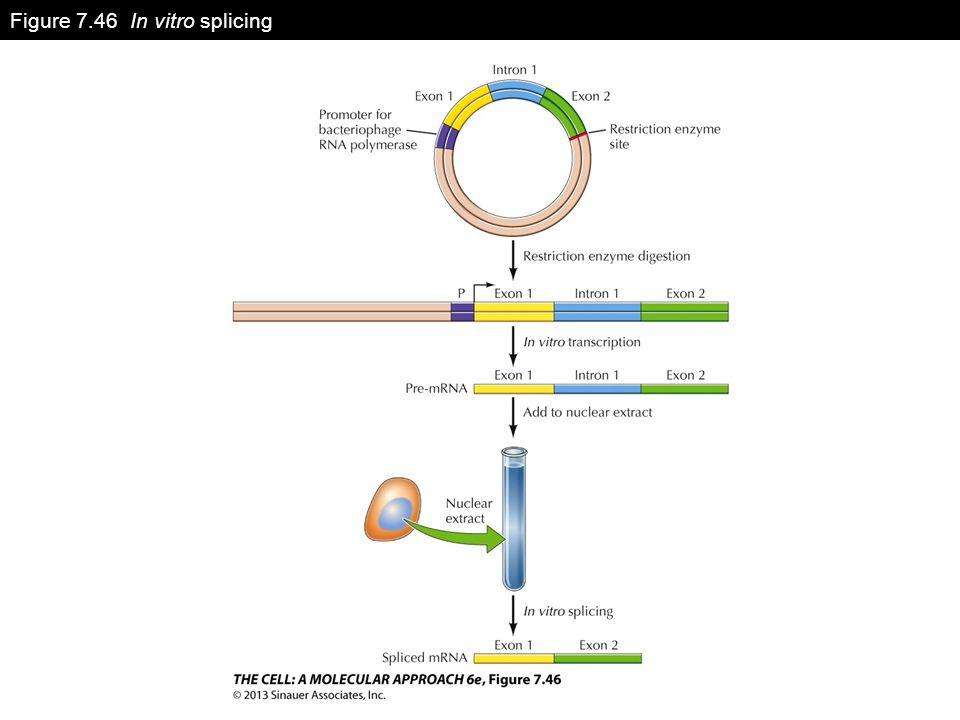 Figure 7.46 In vitro splicing