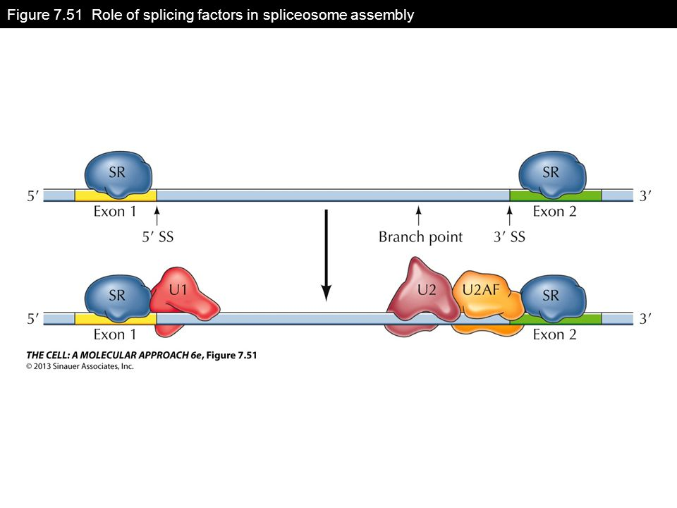 Figure 7.51 Role of splicing factors in spliceosome assembly