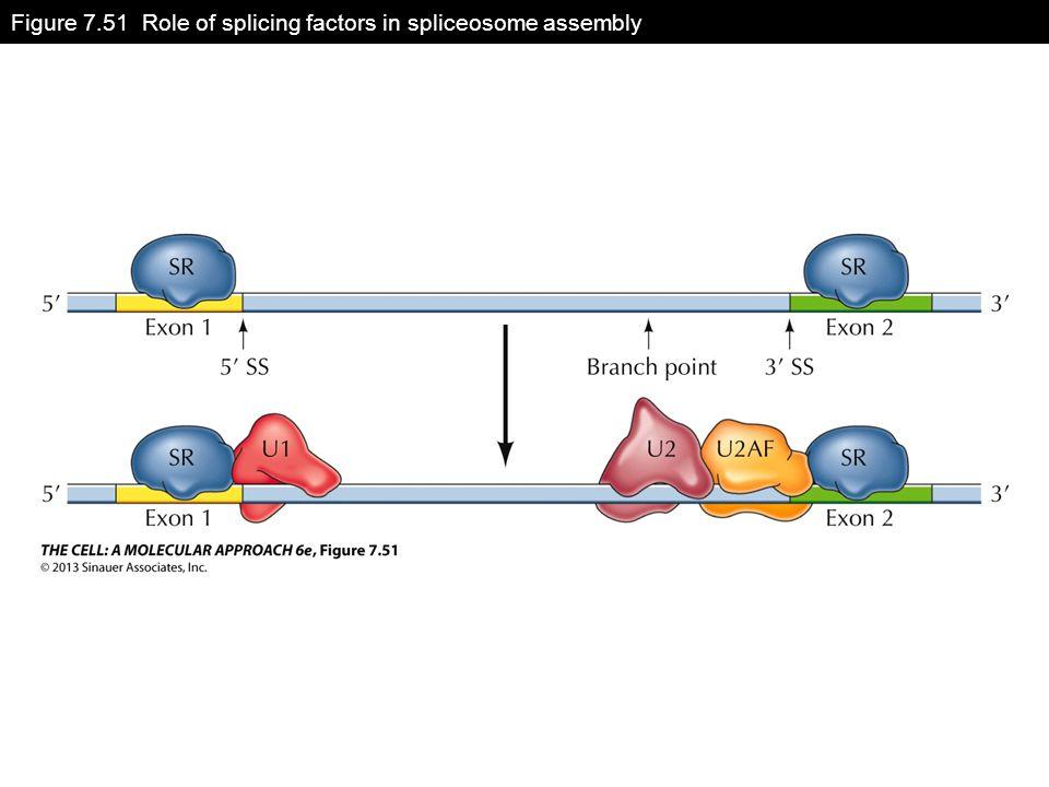 Figure 7.51 Role of splicing factors in spliceosome assembly