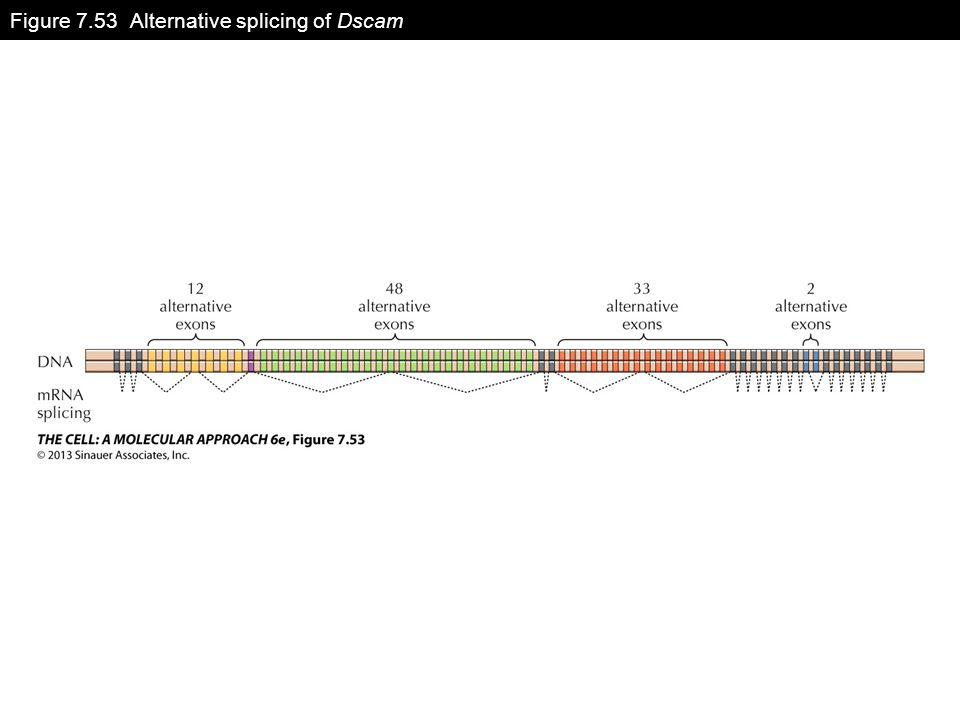 Figure 7.53 Alternative splicing of Dscam