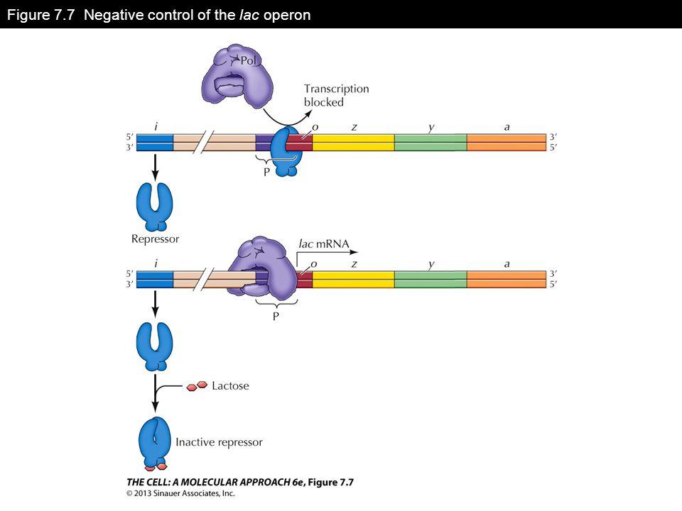 Figure 7.7 Negative control of the lac operon