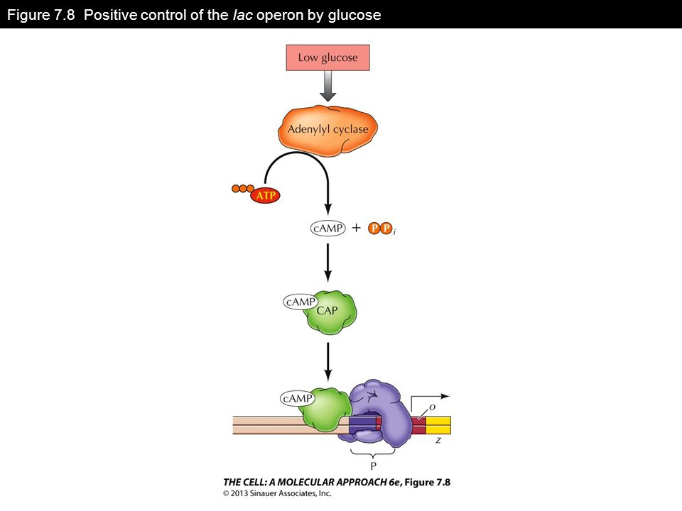 Figure 7.8 Positive control of the lac operon by glucose