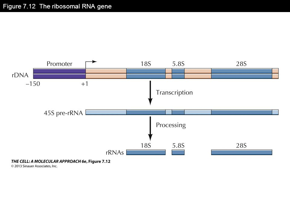 Figure 7.12 The ribosomal RNA gene
