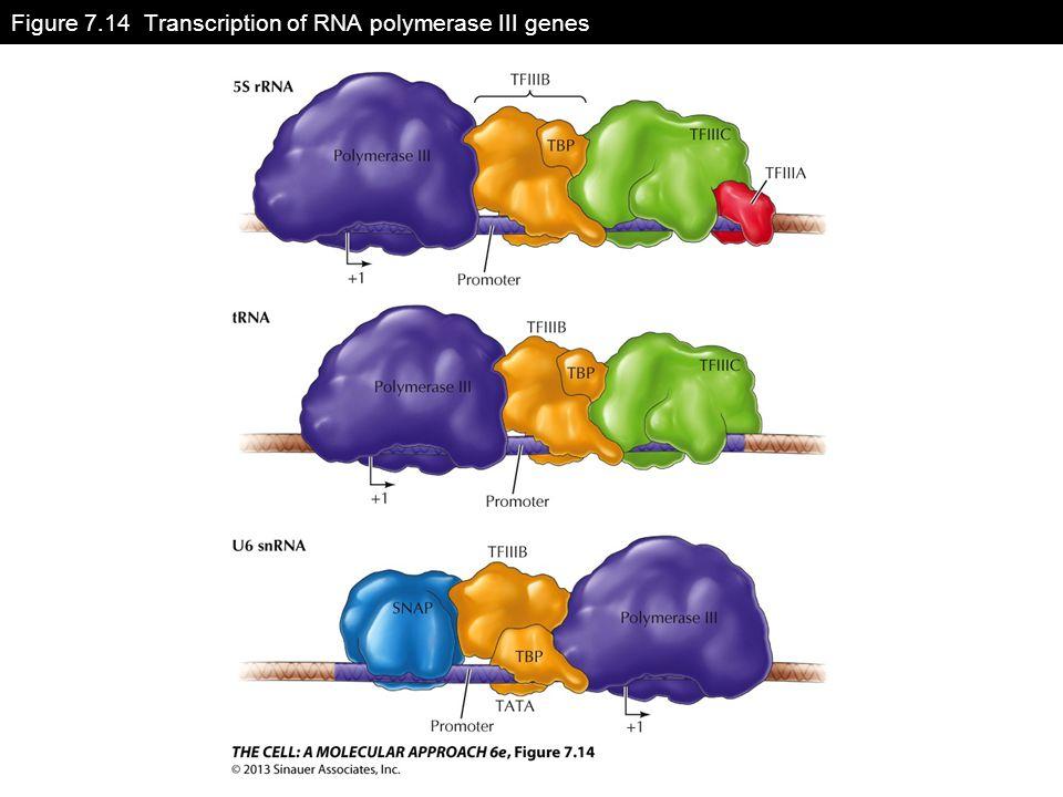 Figure 7.14 Transcription of RNA polymerase III genes