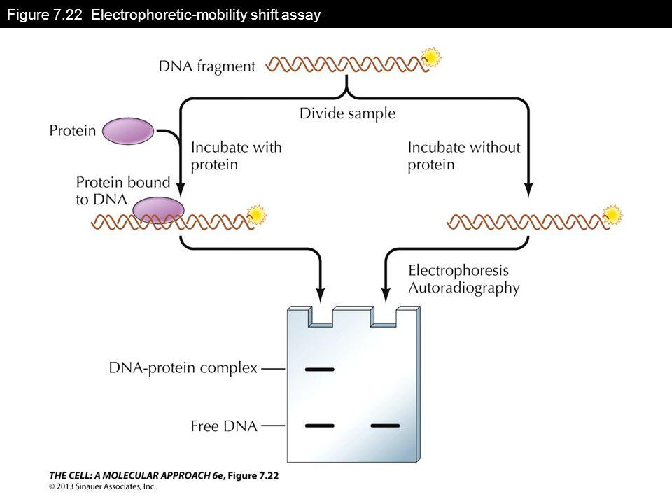 Figure 7.22 Electrophoretic-mobility shift assay
