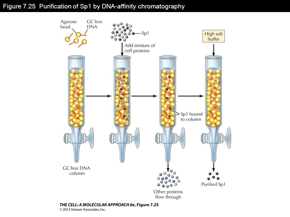 Figure 7.25 Purification of Sp1 by DNA-affinity chromatography