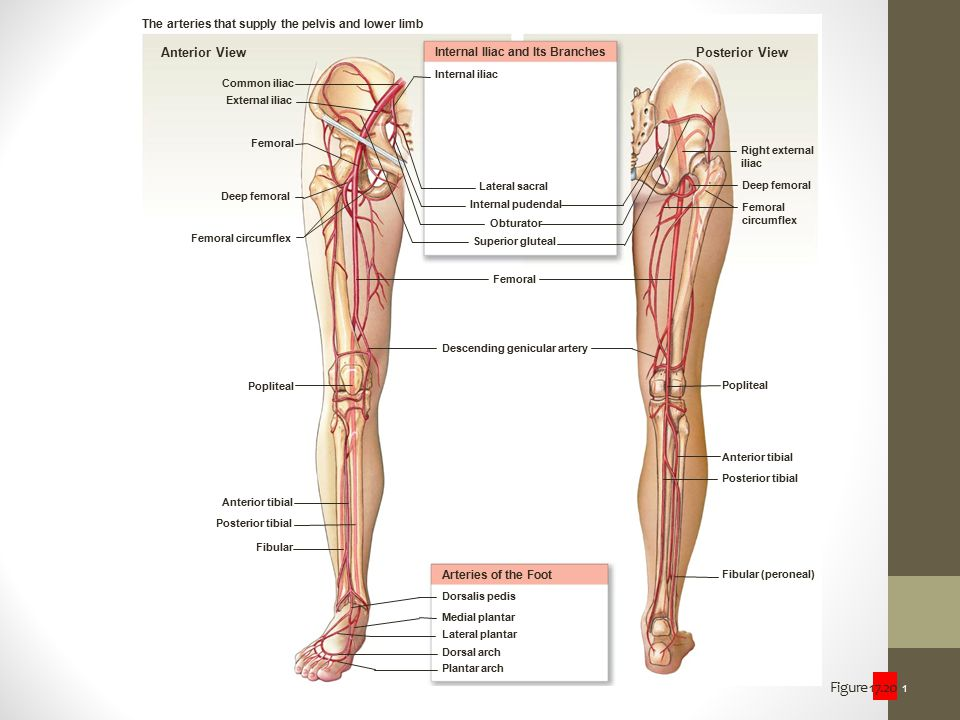 The arteries that supply the pelvis and lower limb
