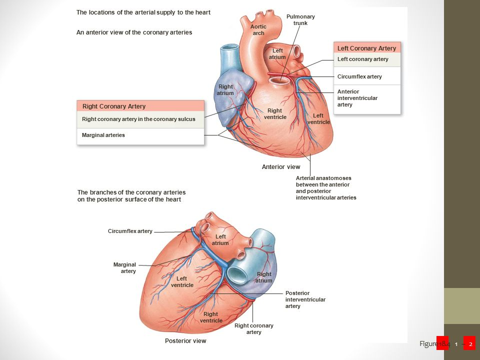 Figure 18.4.1-2 The heart has an extensive blood supply