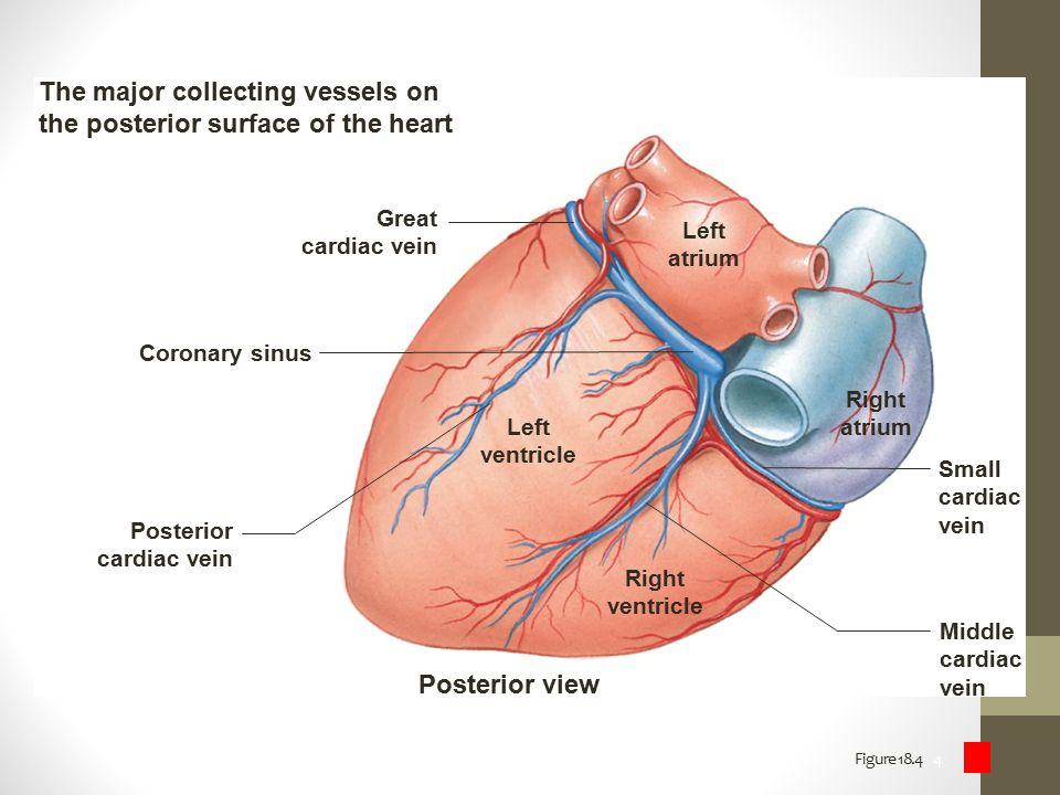 The major collecting vessels on the posterior surface of the heart